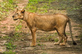 Asiatic Lioness — Stock Photo