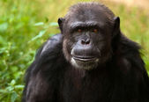 Chimpanzee portrait — Stock Photo