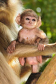 Langur baby with mother — Stock Photo