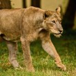 Stock Photo: Asiatic lioness on prowl