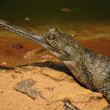 Stock Photo: Gharial Crocodile