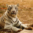 Stock Photo: Alert Bengal Tiger
