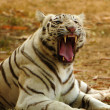 Stock Photo: White tiger roaring