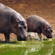 Hippo baby with mother — Stock Photo