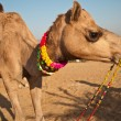 Stock Photo: Camel for sale