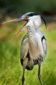 Grey Heron calling — Stock Photo