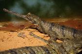 Gharial Crocodile — Stock Photo