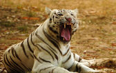White tiger roaring — Stock Photo
