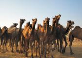 Camel herd — Stock Photo