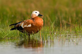 Ruddy Shelduck female — Stock Photo