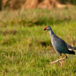 Stock Photo: purple moorhen