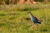 Purple Moorhen — Stock Photo