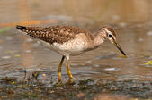 Wood sandpiper winter plumage — Stock Photo