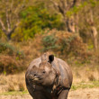 Stock Photo: Rhinoceros vertical image
