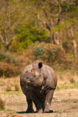 Rhinoceros vertical image — Stock Photo
