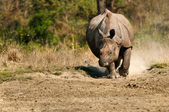 Rhino charging — Stock Photo