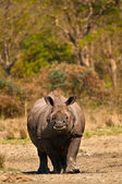 Rhino vertical image — Stock Photo