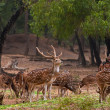 Herd of spotted deer — Stock Photo #38444229