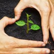 Two hands forming a heart shape around a young green plant - planting tree — Stock Photo #39657713