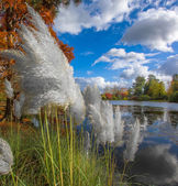 Pampas Grass in Autumn — Stock Photo