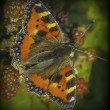 Stock Photo: Butterfly on bramble