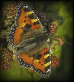 Butterfly on bramble — Stock Photo