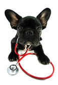 French bulldog and a stethoscope — Stock Photo