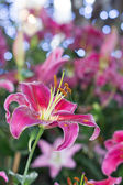 Beauty lily on field closeup blue bokeh — Stock Photo