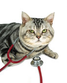 American shorthair with a stethoscope on his neck — Stockfoto