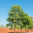 Stock Photo: Tree on roadside
