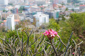 Frangipani with a view of the city — Stock Photo