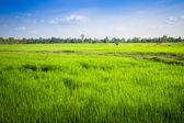 Campo di riso verde in thailandia — Foto Stock
