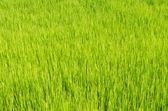 Campo di riso — Foto Stock