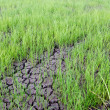 Dry country rice farm in thailand — Stock Photo #50191613
