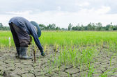 Farmer is planting rice in a dry place farm — Stock fotografie