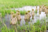 Round of seeding rice in farm — Stock Photo