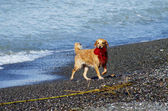 Funny dog playing on the beach — Стоковое фото