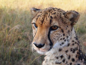 Cheetah looking into the distance — Stock Photo