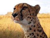 Cheetah after the hunt — Stock Photo