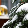 Spruce brach with snow — Foto Stock