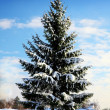 Spruce tree covered by snow — Stock Photo