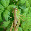 Grasshopper — Stock Photo #37111395