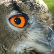 Owl eye — Stock Photo