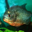 Piranha — Stock Photo