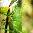 Grasshopper — Stock Photo #37112327