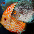 Discus fishes — Stock Photo