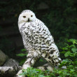 Polar owl — Stock Photo