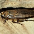 Big cockroach — Stock Photo #37114363
