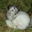 Arctic fox — Foto Stock