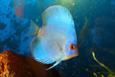 Blue discus — Stock Photo